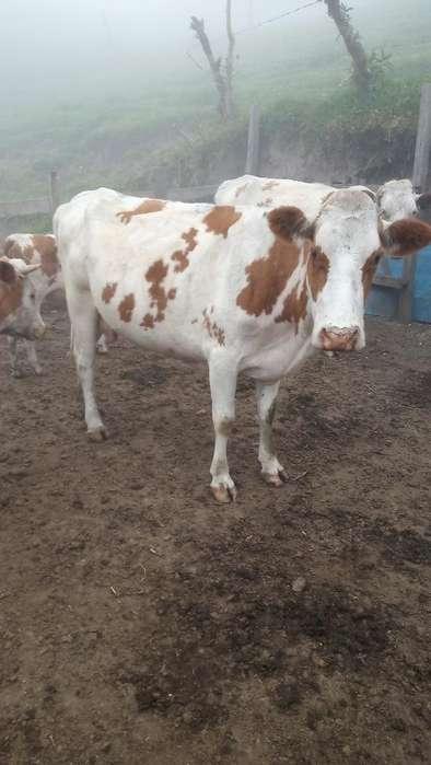 Vendo Vaca Preñada de Seis Meses