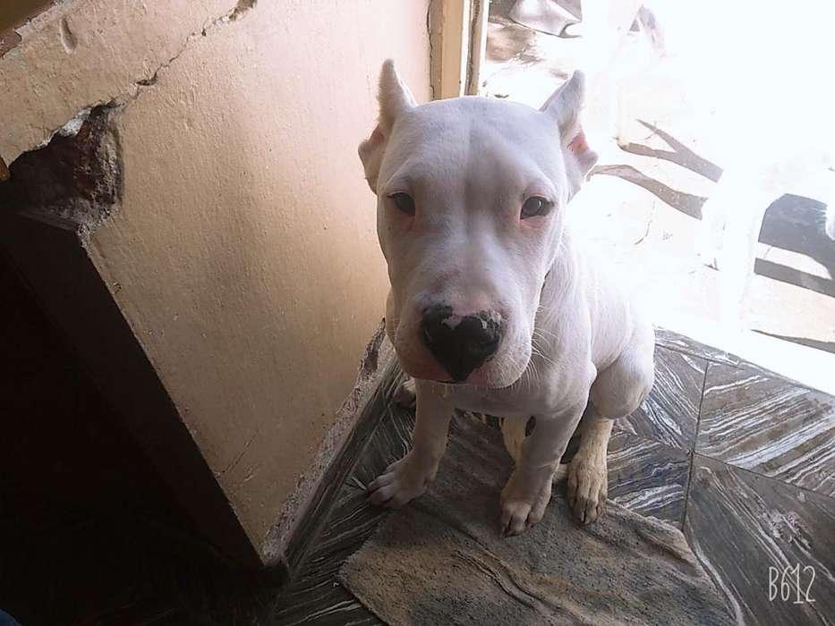 Vendo <strong>cachorro</strong> Dogo