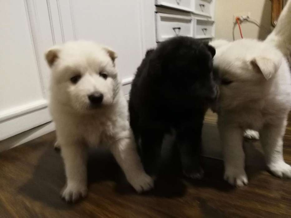 Cachoritos Husky Siberiano (lobo)
