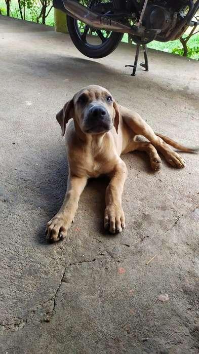 Se Vende Cachorra Fila Brasilera