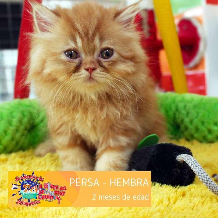 <strong>gato</strong>S PERSAS, SCOTTISH FOLD, BRITANICOS y EXOTICOS
