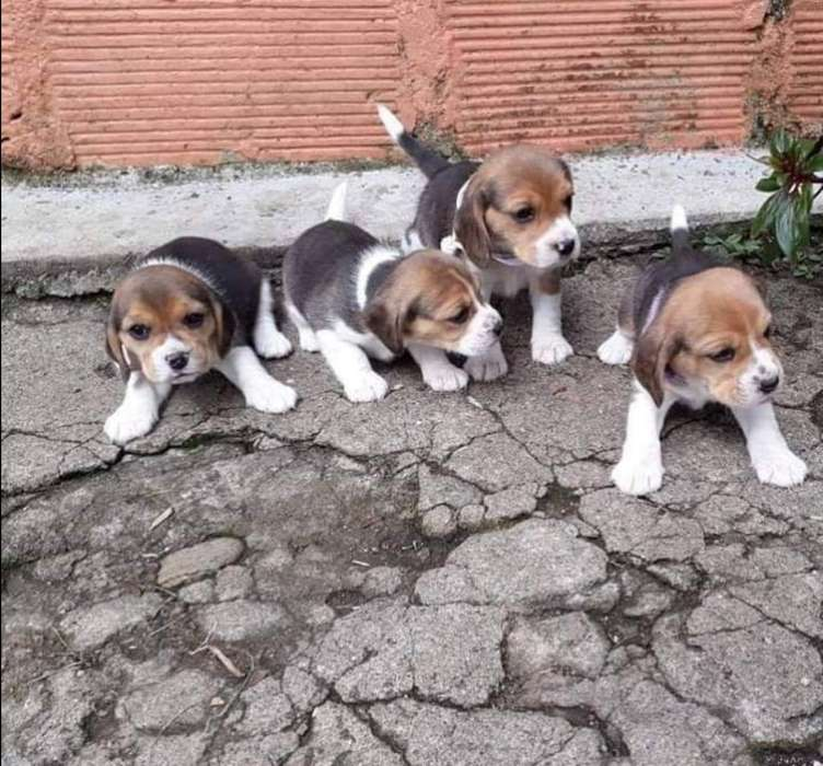 Linda cachorra Beagle de dos meses, padres con pedigree