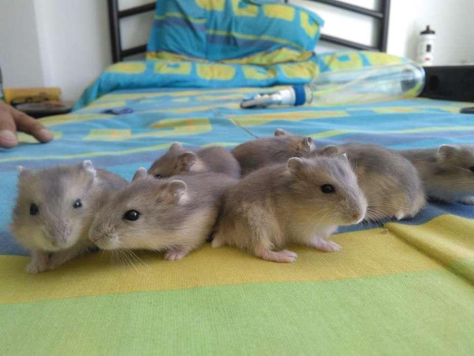 Vendo Lindos Hamster Enanos Rusos