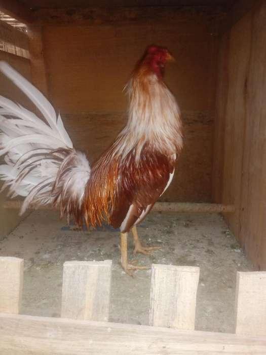 Gallo Papujo