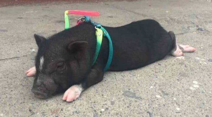 SE VENDE MINI PIG EDUCADO Y CASTRADO