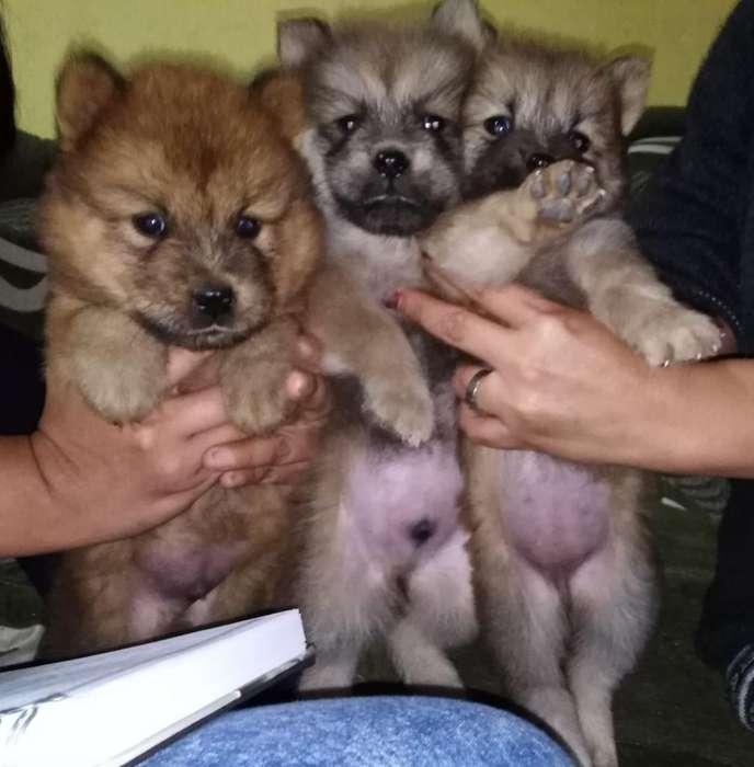 Vendo Cachorros Chow Chow