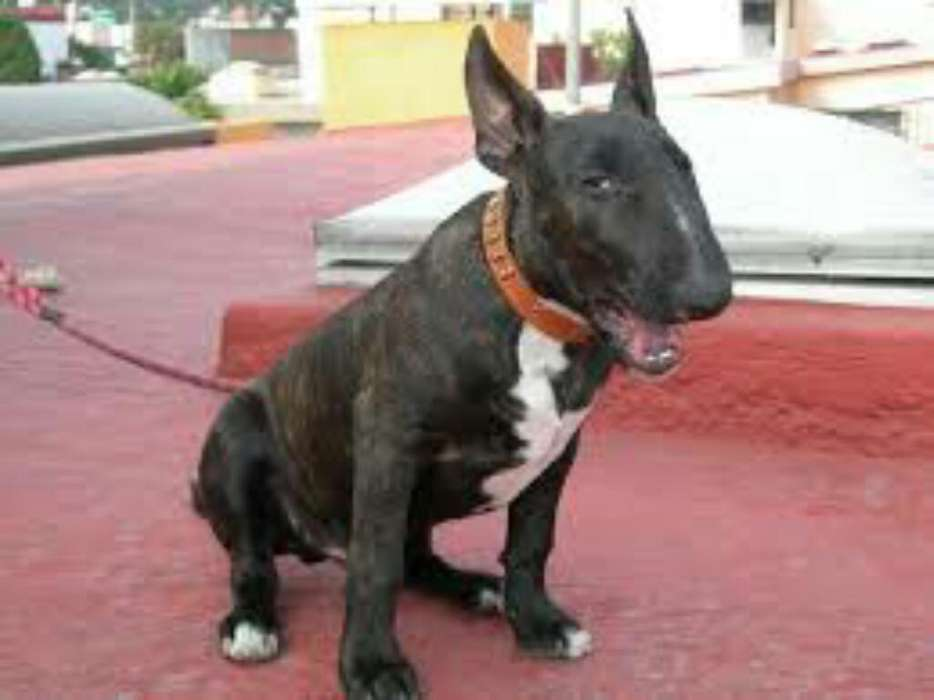 Bull Terrier Mini Henbra
