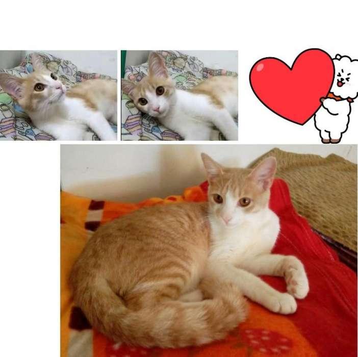 Hermoso Gatito Esterilizado en Adopción