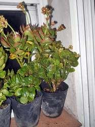 Planta Kalanchoe blossfeldiana flor doble Maceta 12