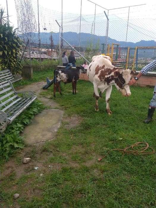 Vendo Vaca con 9 Meses de Preñez