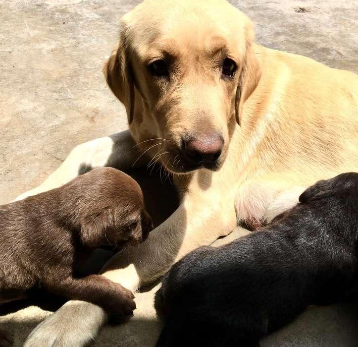 Cachorros Labradores Padres Presentes