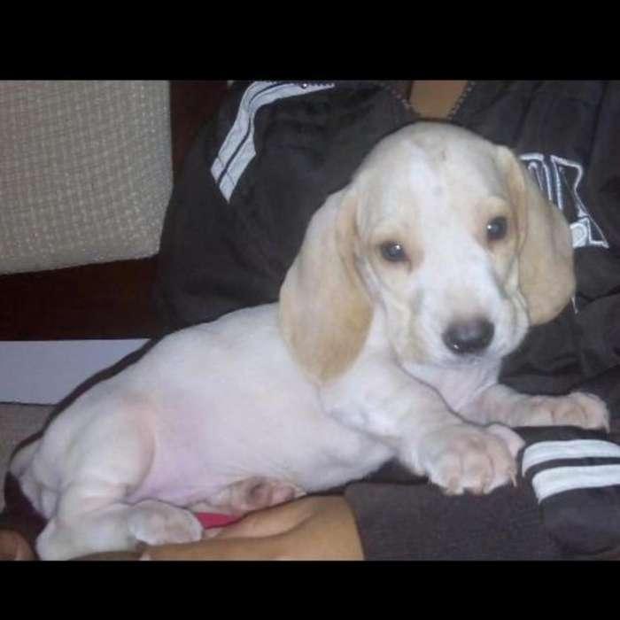 Vendo Excelentes Cachorras Basset Hound