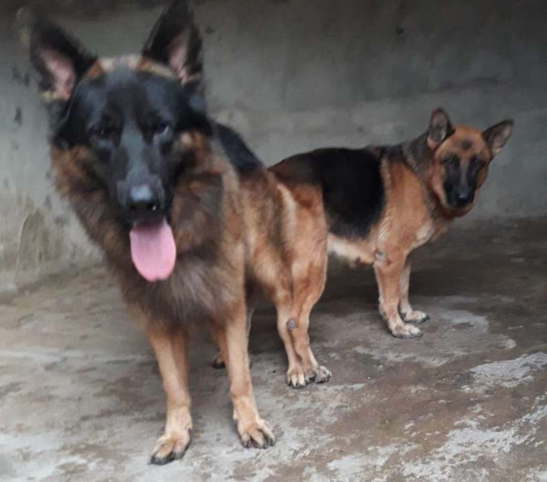 Venta de Hermosos <strong>cachorro</strong>s Pastor Alema