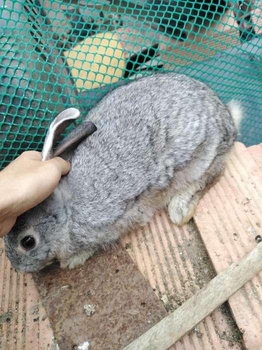 Cambio conejo por coneja 3115689961