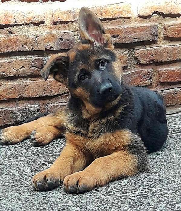 Cachorros Ovejero Alemán