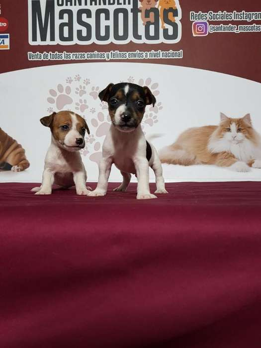 Auténticos Jack Russell <strong>terrier</strong> Myh