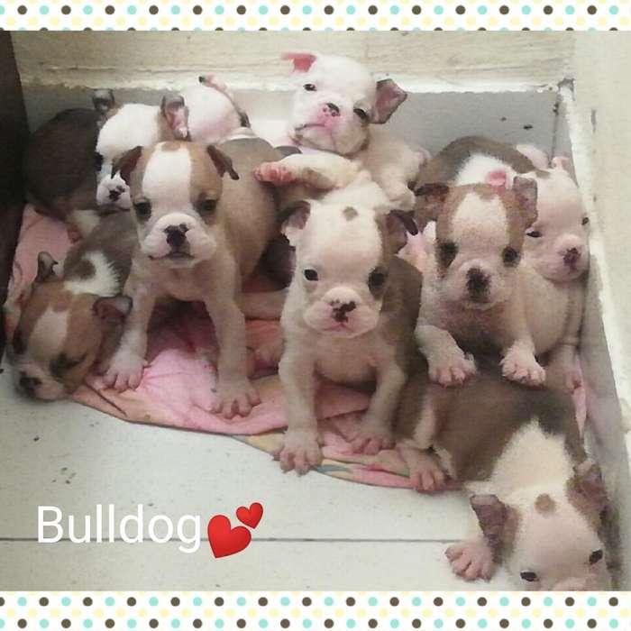Hermosos <strong>bulldog</strong> Ingles