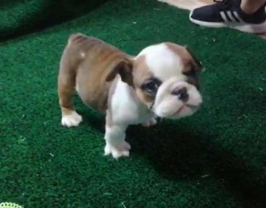 Sé Vende Hermosa Cachorra Bulldog Ingles