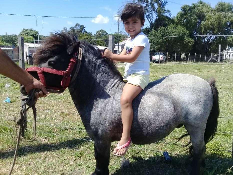 Vendo Pony Shetland Inglés Puro O Vservi