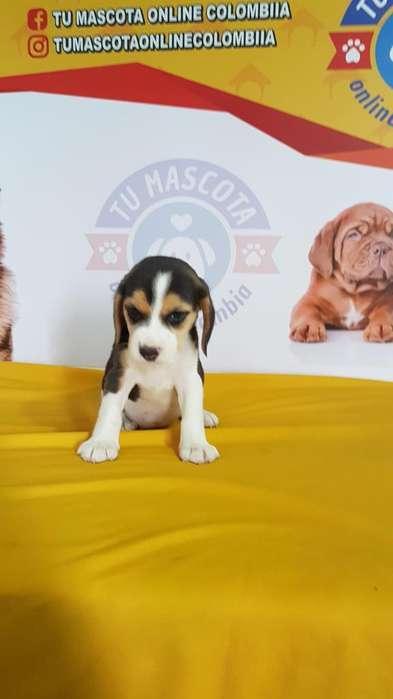 Super Hermosos <strong>beagle</strong>s Tricolor Cachorro