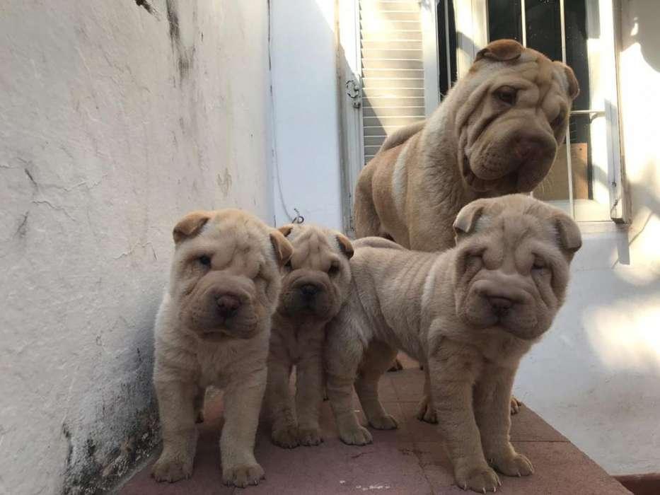 Hermosa cachorrita Shar Pei