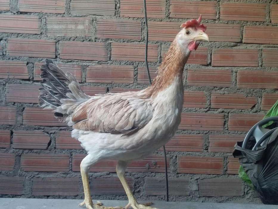 vendo 2 gallinas
