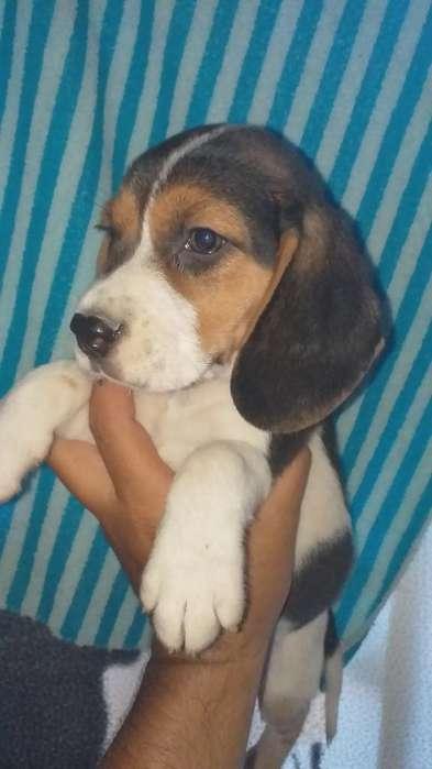 Precio <strong>beagle</strong> Contento