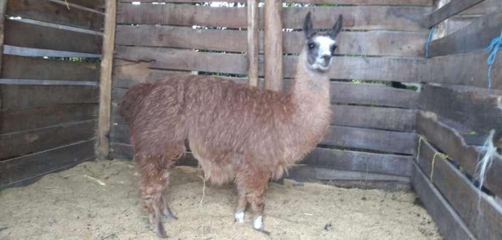 Vendo Llama Macho Entero
