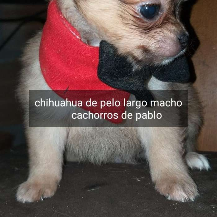 <strong>chihuahua</strong>