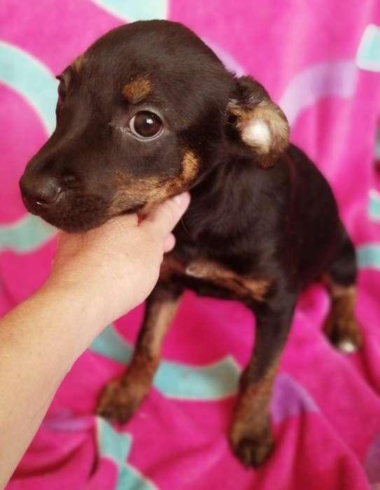 Hermosa Cachorrita Cruce Doberman