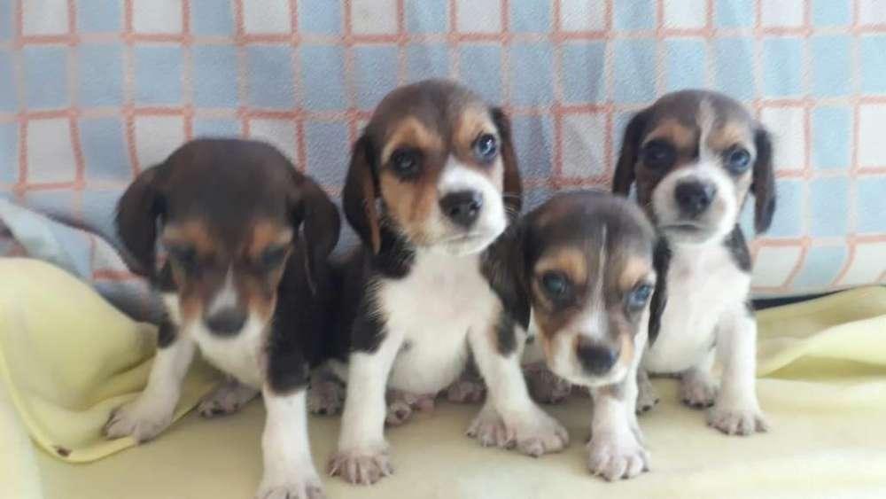 camada de beagle