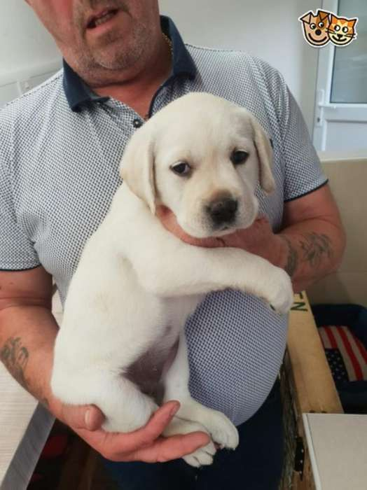 Labrador Gratis