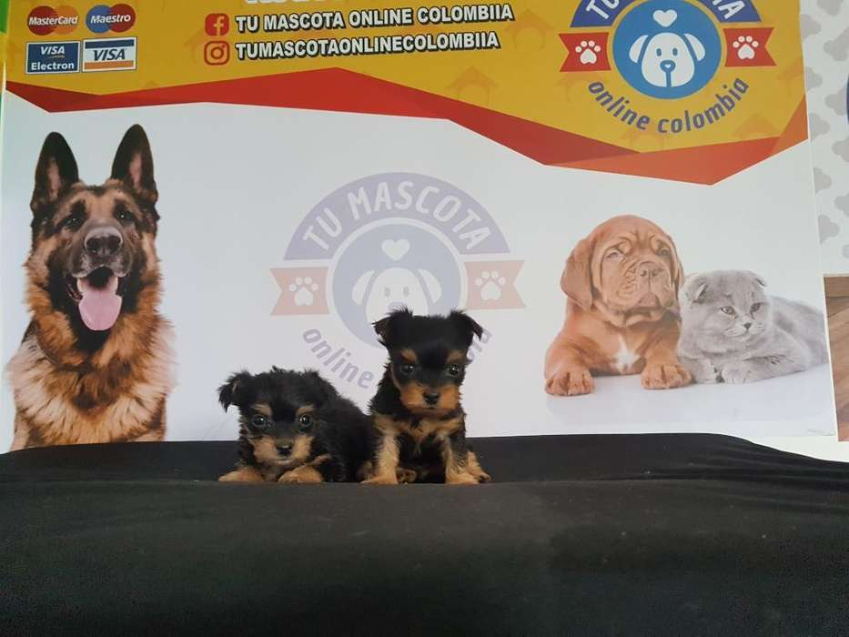 Mini Yorkshire Terrier Baratos