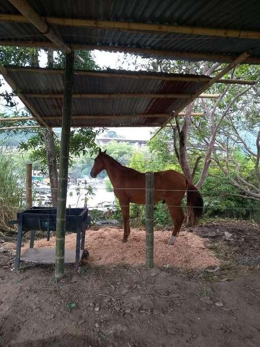 <strong>caballo</strong> Capon Exelente para La Silla