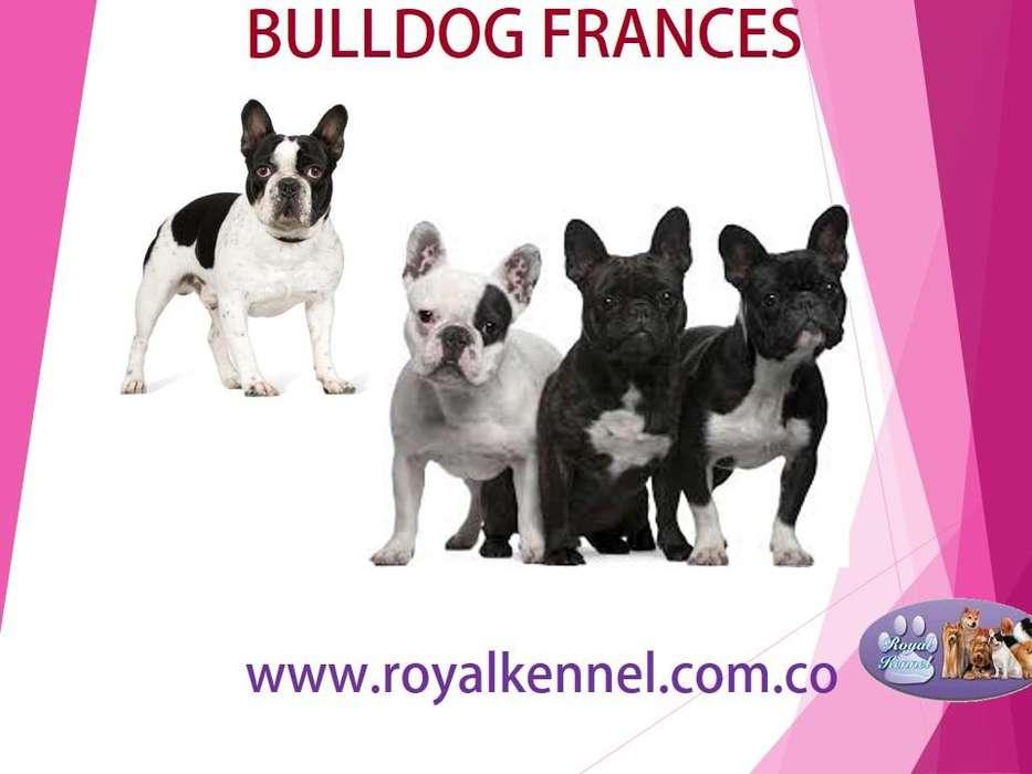 BULLDOG FRANCES !ESPECTACULARES! DE ROYAL KENNEL