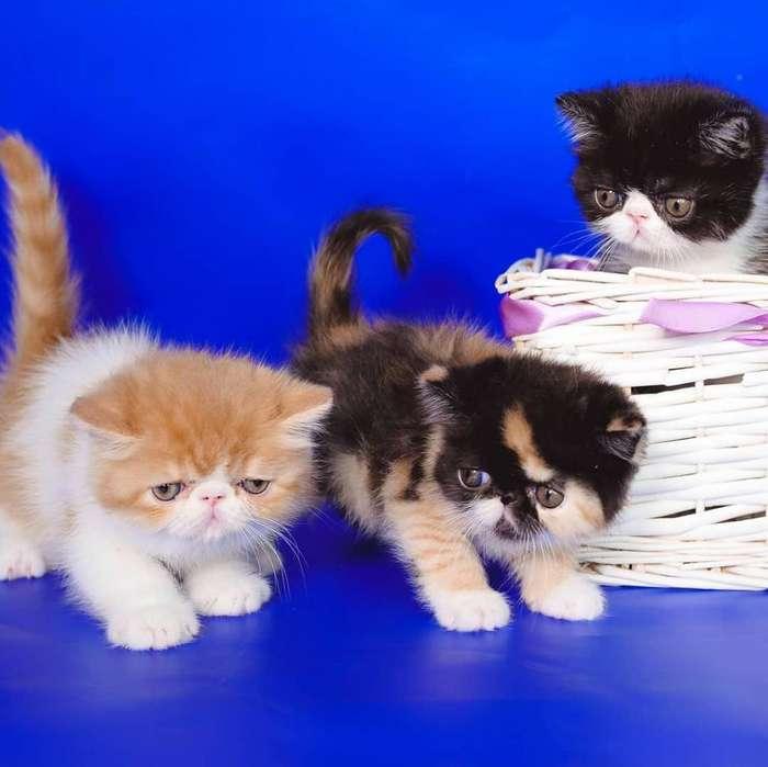 Gatos Persas en Venta