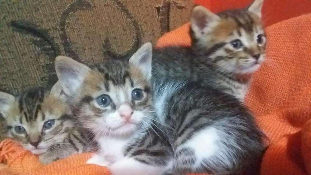 Gatos en Adopción