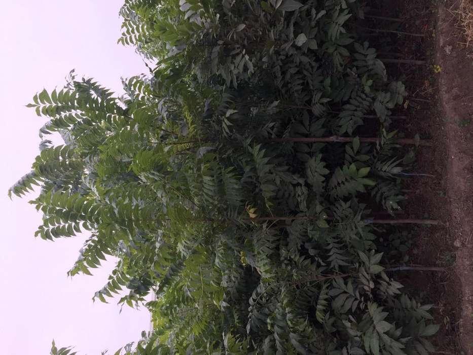 Plantas de Pecano MAJAN