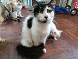 Gatitos Adultos en Adopción Responsable