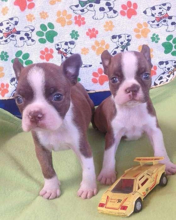 llena tu hogar de alegria con estos cachorros boston <strong>terrier</strong> rojo