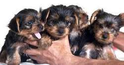 ADORABLES CACHORROS YORKSHIRE TERRIER