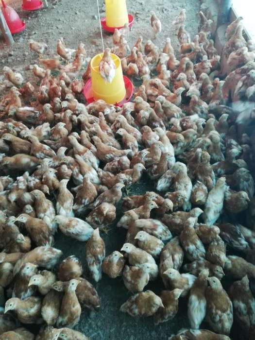 Vendo Lote de 300 Gallinas Lohmann Brown