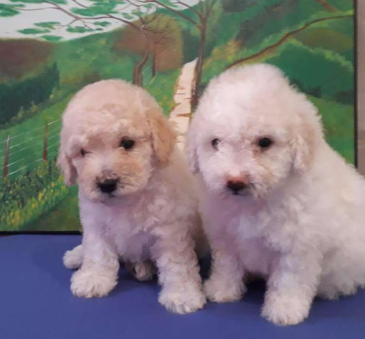 French poodle blanco