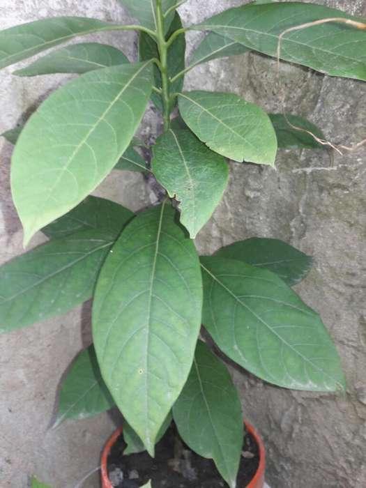 Planta de Palta
