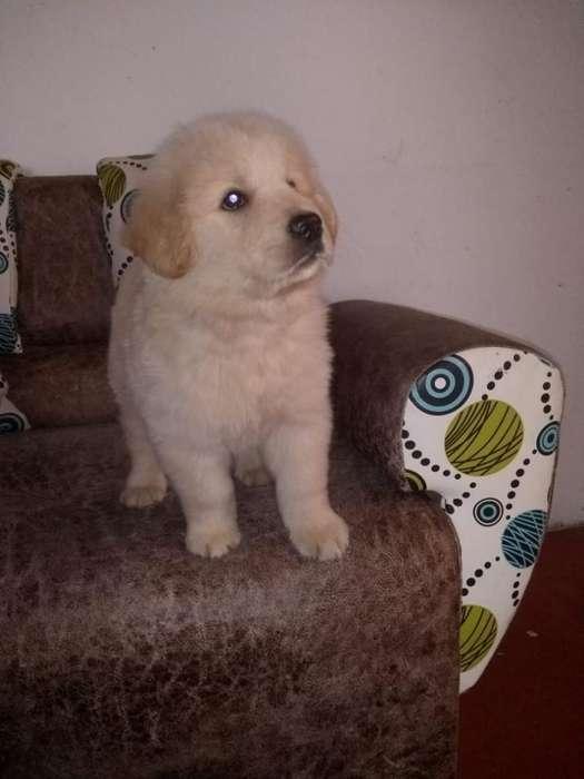 Cachorros Golden Retriver Disponibles