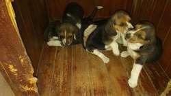 Adorables Cachorros Beagles 94_87_01_605
