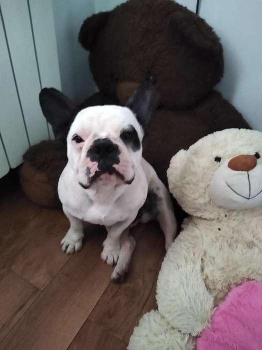 Servicio Stud Bulldog Francés