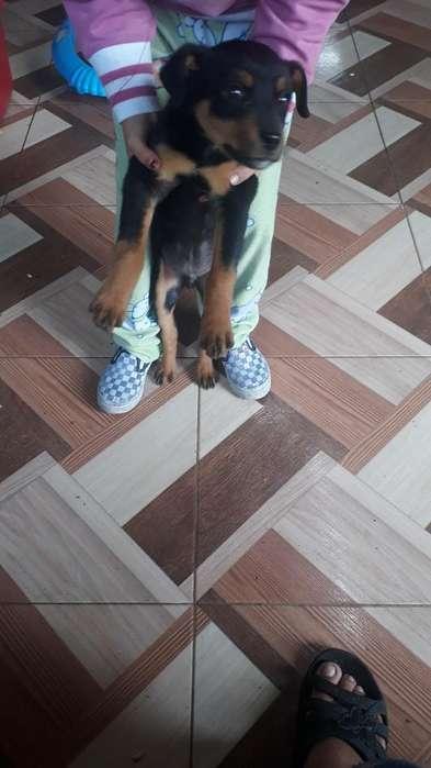 Vendo Rottweilers por Falta de Espacio