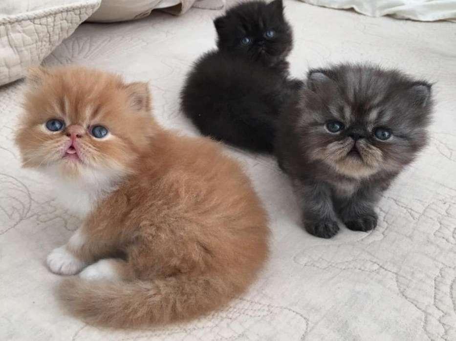 <strong>gato</strong>s Persa
