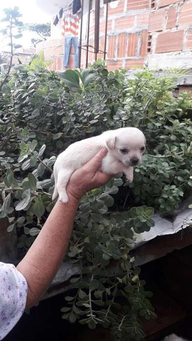 Hermosos <strong>chihuahua</strong>s Disponibles